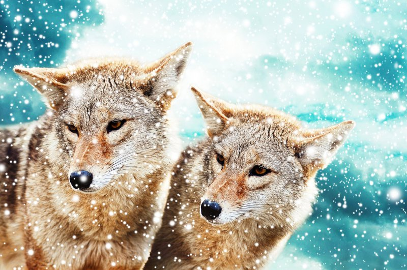 Wolves_Two_Snowflakes_379255_big.jpg